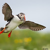 atlantic puffin with sand eels landing, grimsey island, iceland