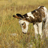 wild burro colt, custer state park, sd