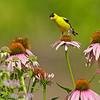 american goldfinch on coneflower, wisconsin