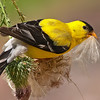 american goldfinch with thistle seed, wisconsin