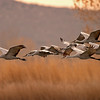 sandhill cranes in flight, bosque del apache, nm