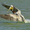 brown pelican takeoff. port aransas, texas