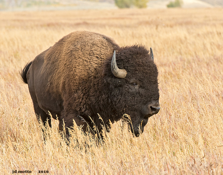american bison, grand teton national park