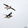 puffin pair in flight, one with sand eels, one without