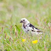 snow bunting male