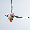 puffin and eels, head on landing