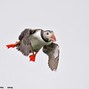 puffin with landing spot in clear view