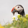 puffin and sand eels up close