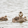 common eider hen with ducklings