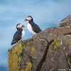 puffin pair on rocks with lichen
