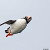 atlantic puffin, mid-air twist