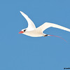 close-up tropicbird in flight