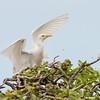 cattle egret on naupaka shrub, eastern island