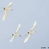 red-tailed tropicbirds, courtship dance
