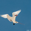 red-tailed tropicbird, courtship dance