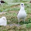 adult laysan albatross with her rare albino chick