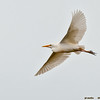 cattle egret on glide, eastern island