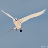 red-tailed tropicbird hovering