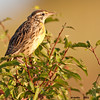 meadowlark in foliage