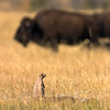 black-tailed prairie dog (and bison)