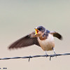 juvenile barn swallow begging