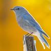 mountain bluebird, backlit