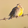 meadowlark on barb wire