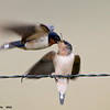 barn swallow feeding chick