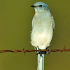 mountain bluebird on barb wire fence, sunset