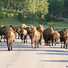 bison on the roadway