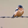 juvenile barn swallow on barb wire fence