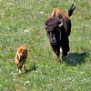 bison cow & calf running