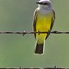western kingbird on barb wire fence