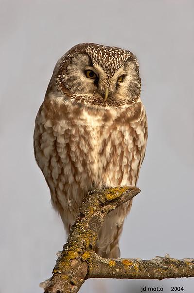 boreal owl, sax zim bog, minnesota