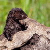 american mink in log, sandstone, minnesota (c)