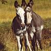 wild burro pair, custer state park, south dakota