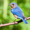 eastern bluebird male, wisconsin
