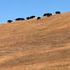 american bison on prairie hillside, custer state park, south dakota