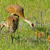 sandhill cranes feeding chicks, crex meadows, wisconsin