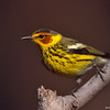 cape may warbler, wisconsin