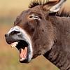 wild burro braying, custer state park, south dakota