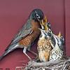 american robin feeding chicks, wisconsin