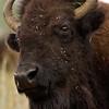 american bison bull headshot, custer state park, south dakota