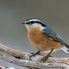 red-breasted nuthatch, wisconsin