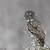 great grey owl in snow, sax zim bog, minnesota