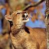 cougar, sandstone, minnesota (c)
