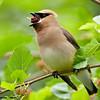 cedar waxwing swallowing mulberry, wisconsin