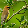 cedar waxwing in hawthorn tree, wisconsin