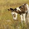 wild burro foal contemplating weeds, custer state park, south dakota