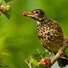 juvenile american robin with mulberry, wisconsin